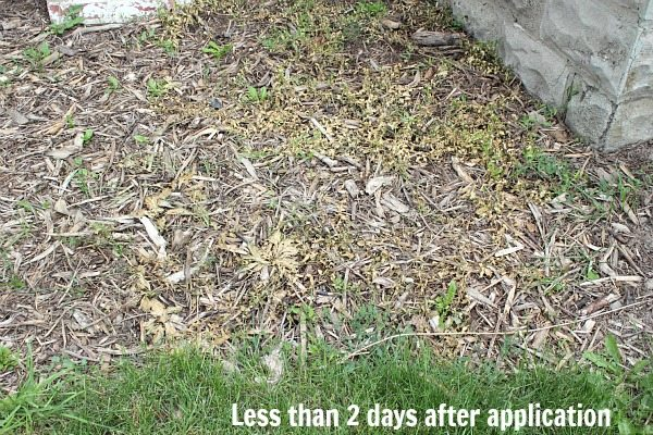 This Natural Weed Recipe Is Perfect For Killing Bindweed And Other Pesky Weeds In Your